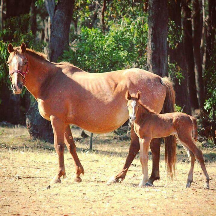 Appy mare and filly foal