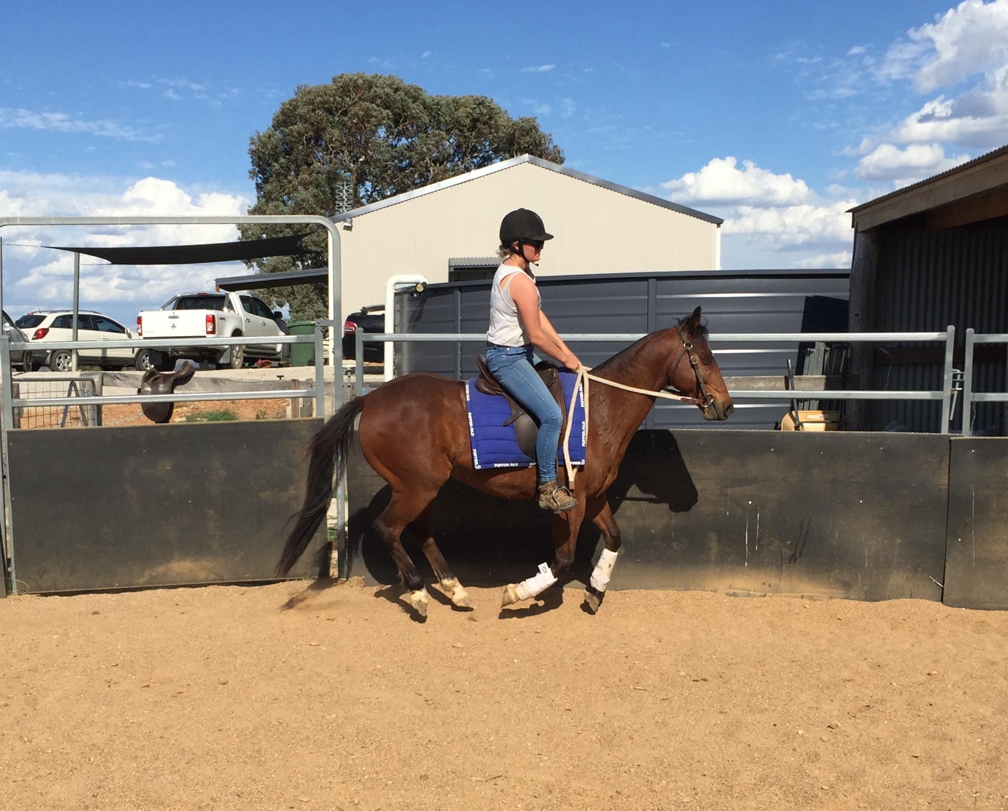 Australian riding pony x stock horse