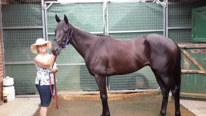 Stunning 3 year old black thoroughbred gelding