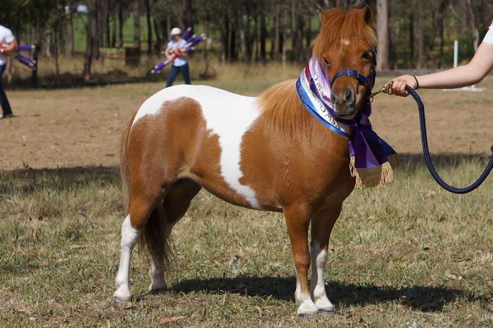 Ambaura Tiara-Multi Supreme Winning Pony (In Foal)