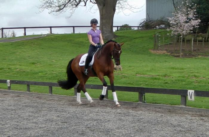 *PRICE REDUCED* 5yr Prestige VDL Gelding