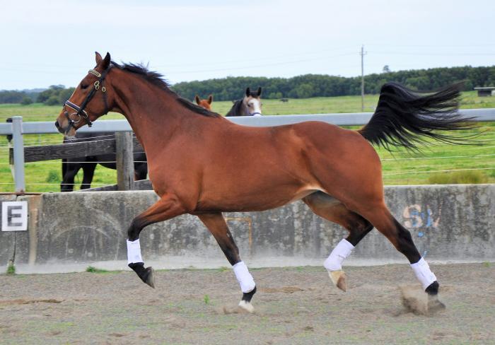 4yo AEA Metallic mare in foal to Questing R