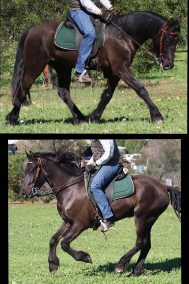dipity under saddle now