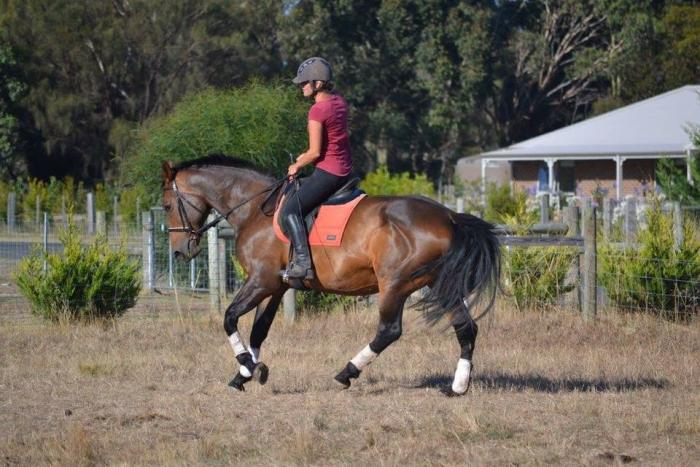 16.1hh 16yr old warmblood mare