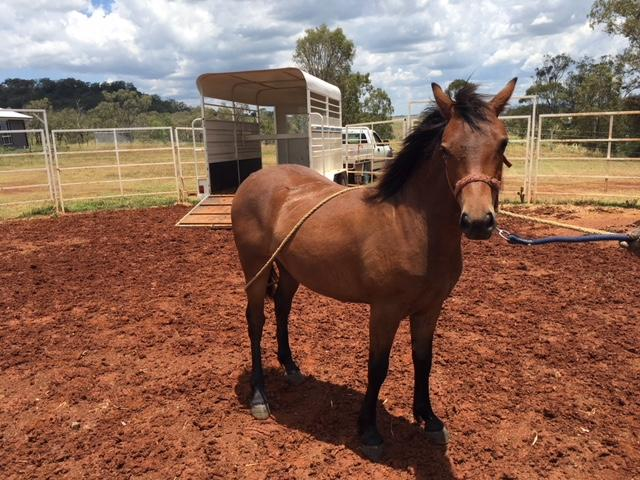 WELSH YEARLING FILLY