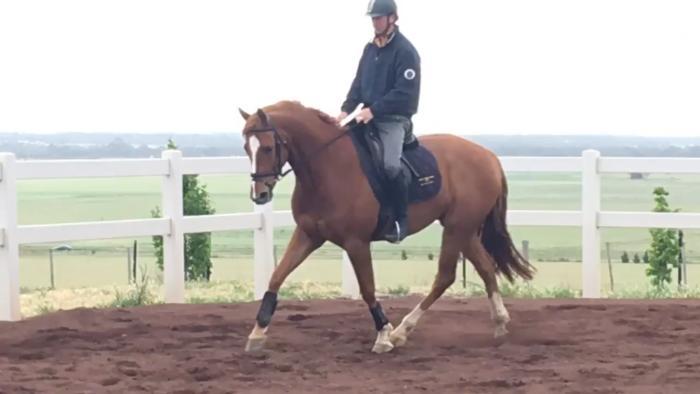 5yo IRISH SPORT HORSE x TB