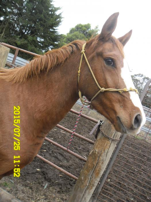 Attractive chestnut filly