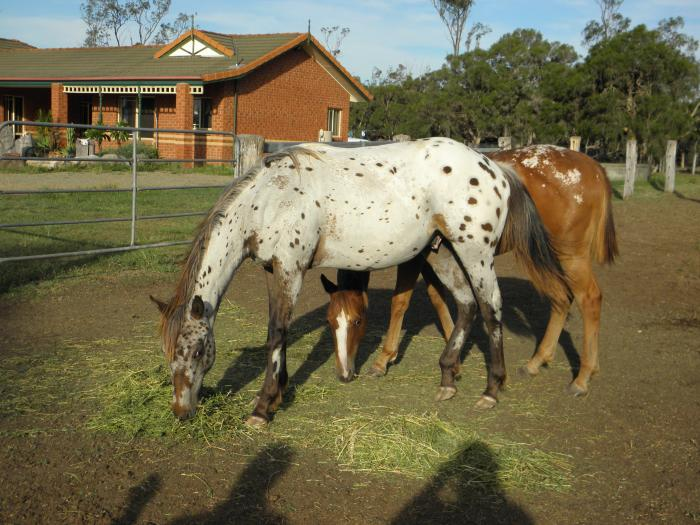 Appaloosa Yearling Gelding