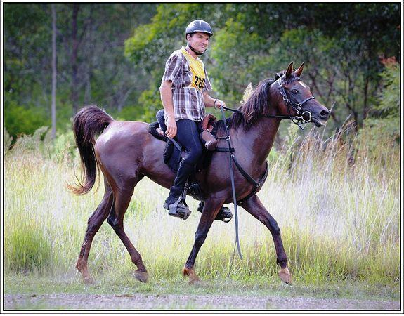 Pure Bred Arabian Mare for Endurance or Dressage