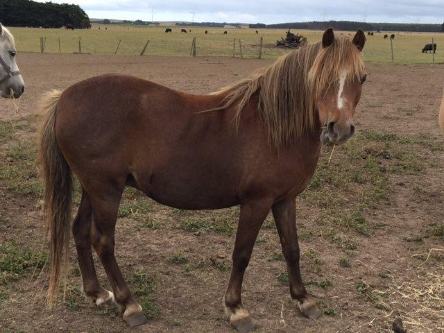 Nattai Salsbri Welsh Mountain Pony broodmare