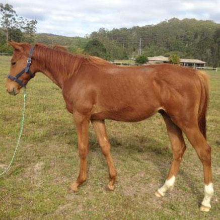 'Check In' Yearling gelding