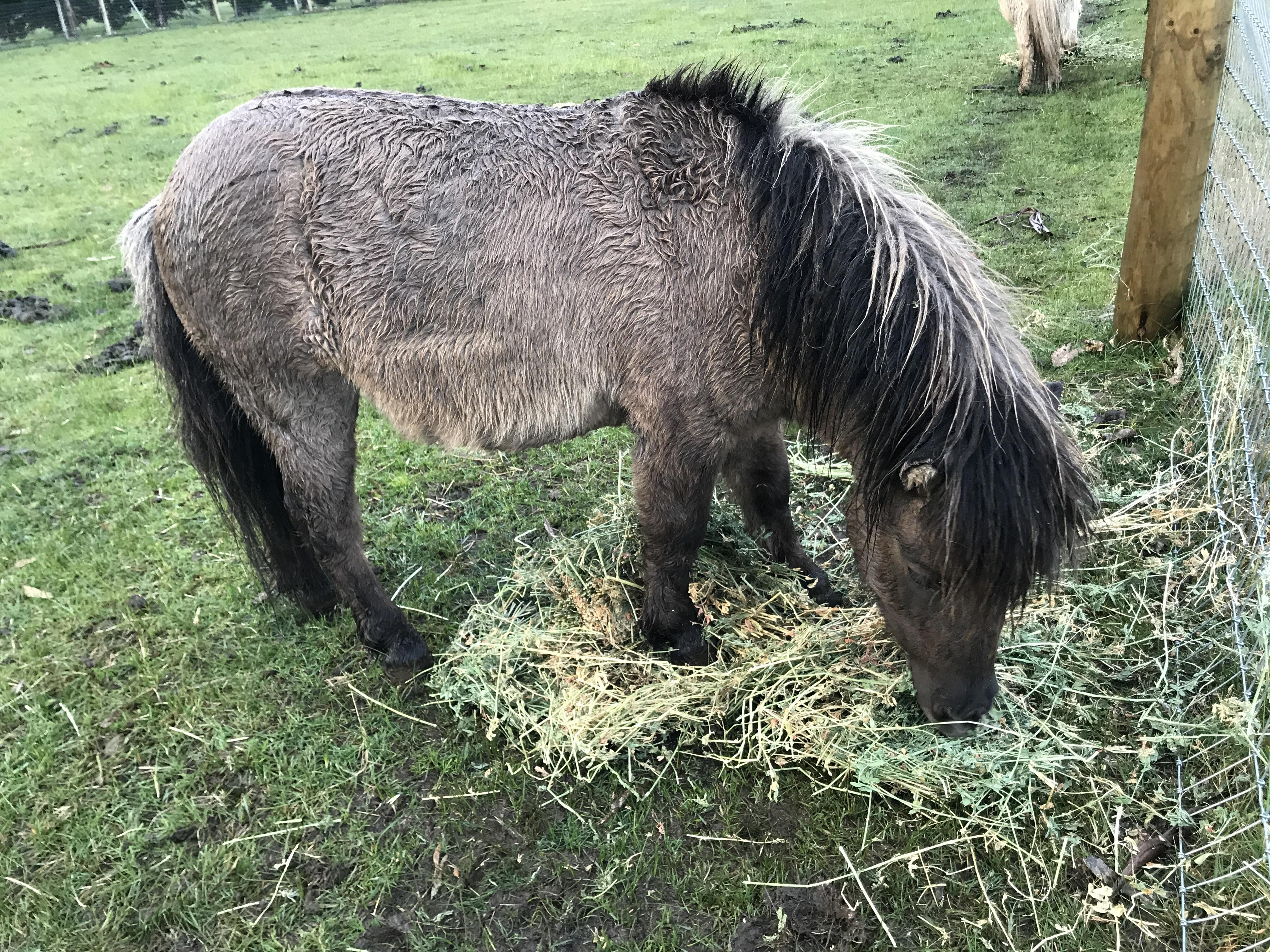 Miniature pony gelding