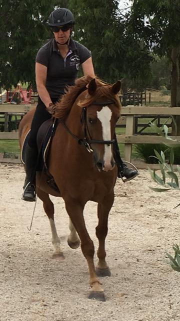 Registered Australian Stock horse gelding