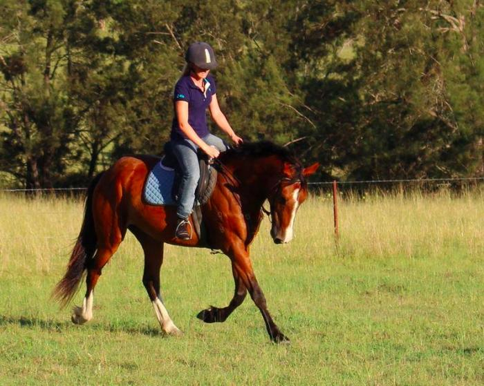 Easy going clydesdale x TB mare