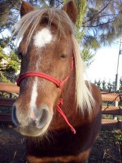 Pretty shetland pony