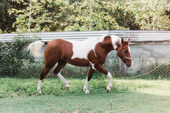 Registered AHSA Bay Pinto Partbred Arabian Filly