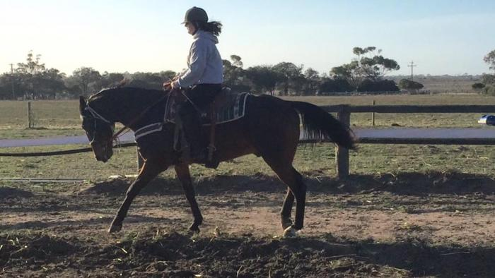 PRICE REDUCED 16.3hh apx bay stb gelding
