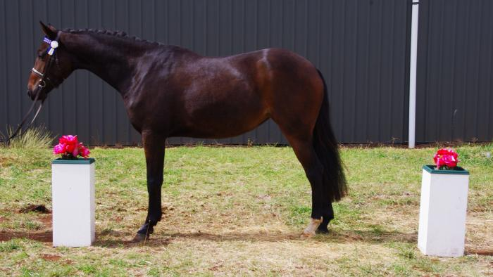 Great Opportunity to purchase talented pony mare