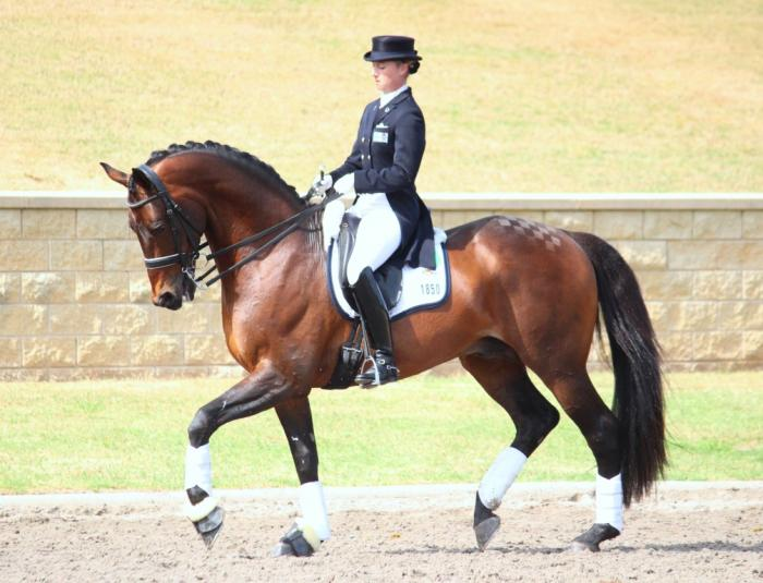 Noble Monarch Trakehner Warmblood Stallion