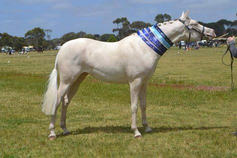 Cremello part arabian mare show or breed