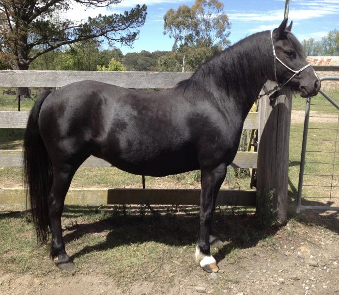 Breed or Ride black 13hh 9yo welsh C mare