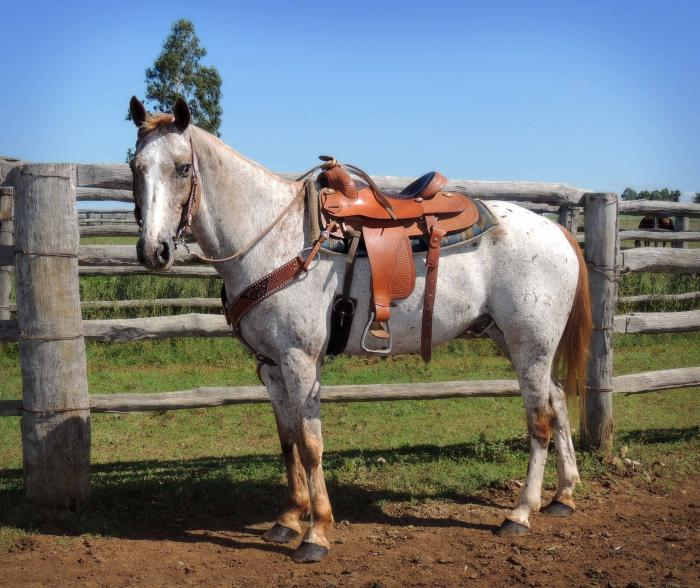 Strawberry Roan appaloosa - photo#24