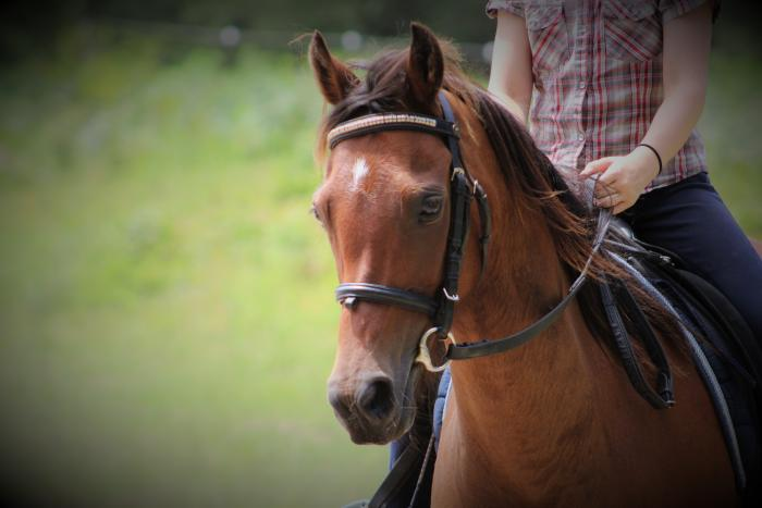 Stunning 13.2hh Arabian Riding Pony