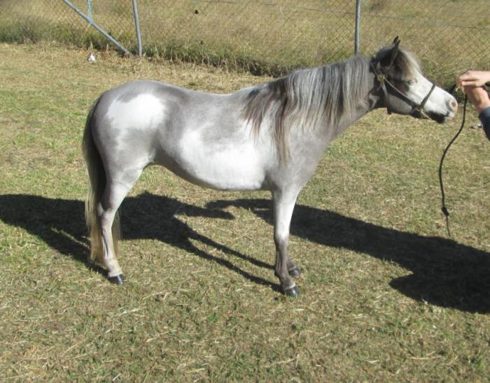 Homozygous Black Overo Filly - Miniature Ponies - Horsezone