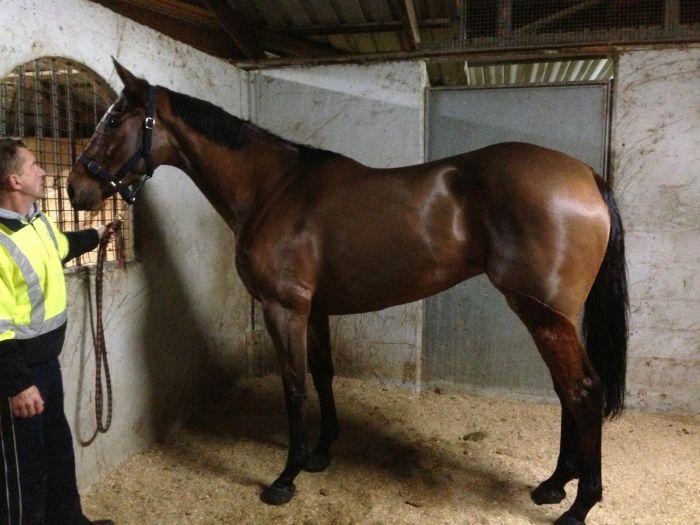 Good Looking Pleasure Horse