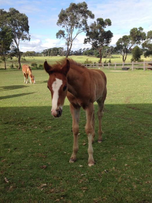 Arabian x Quarterhorse
