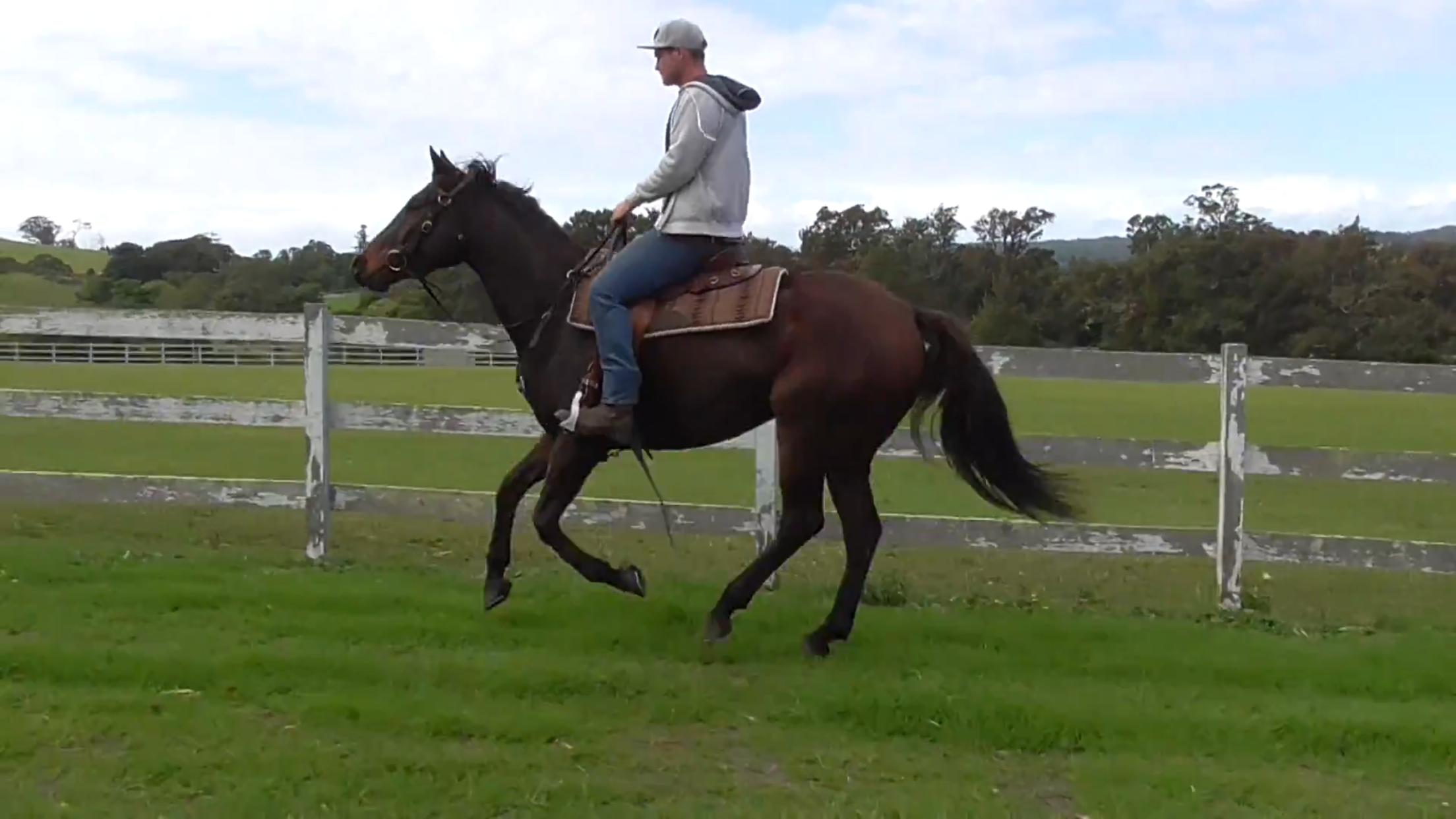SUPERSTAR STOCK HORSE GELDING