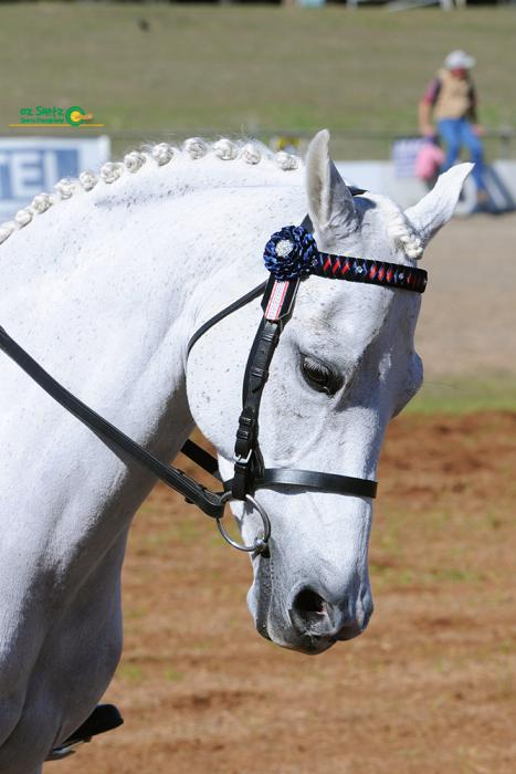 Talented and Competitive Dressage Pony