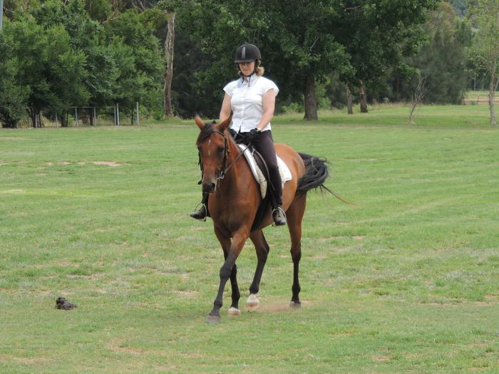 Arabian mare in foal to Warmblood Stallion