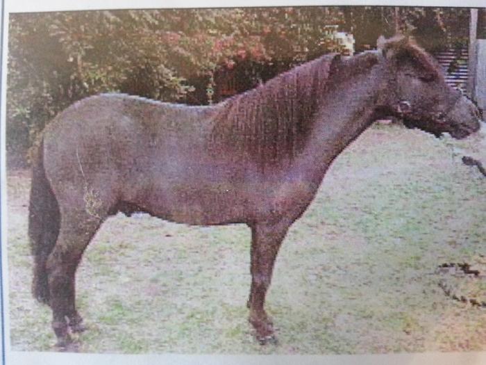 Mini Stallion