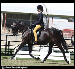 Dressage / Show Galloway.price reduction