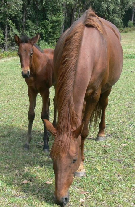 BROOD MARE WITH FILLY ATFOOT AND IN FOAL AGAIN
