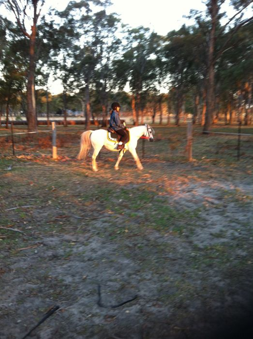 Priced to Sell!! Australian Pony.