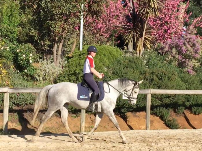 Flashy grey thoroughbred mare