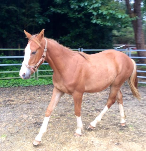 Irish Sport Horse Yearling Colt