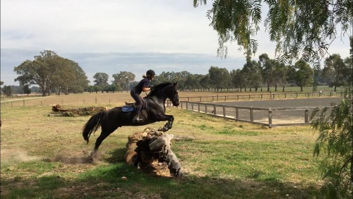 Stunning all rounder galloway gelding