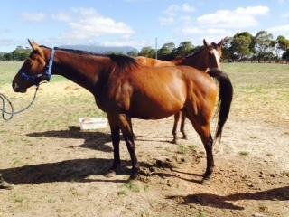 Bargain - 3 yrs, polo bred, tb, 15.3hh, gelding
