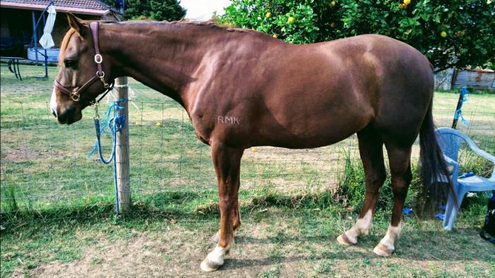 15HH Quarter Horse Gelding, 8 Year Old
