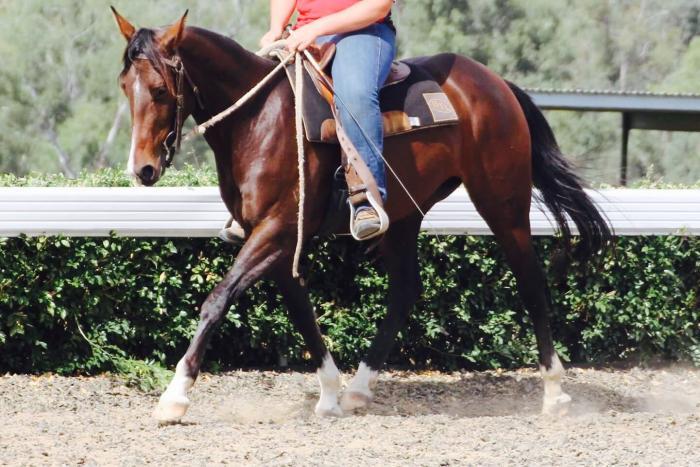 Beautiful reg Australian Stock Horse Mare
