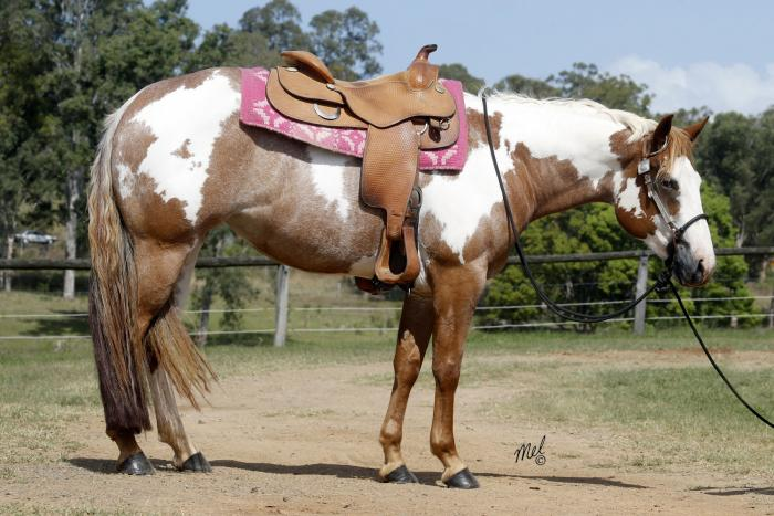 Paint Overo/QH Mare Show/Ride and Breed