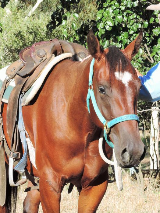 3yo Bay Gelding Campdraft, Team Pen, Snaffle Bit