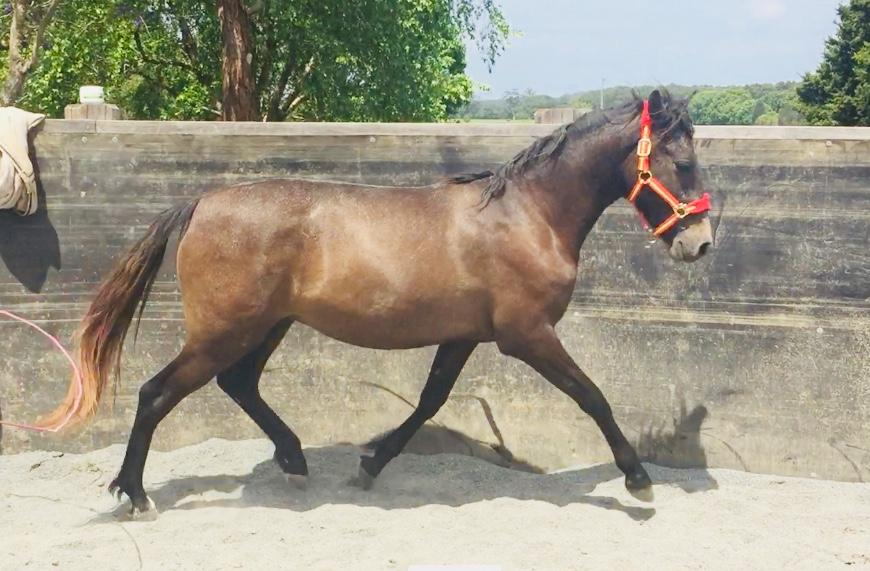Pure Spanish gelding with exceptional movement