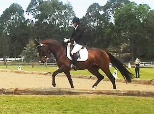 Top Potential for Dressage or Show Hunter Classes