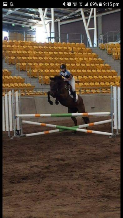 Quality Showjumping/eventing Gelding