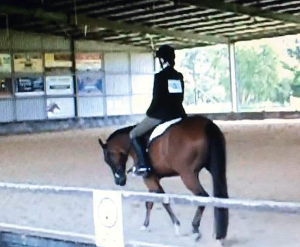 Quiet gelding suit novice show/pleasure riding