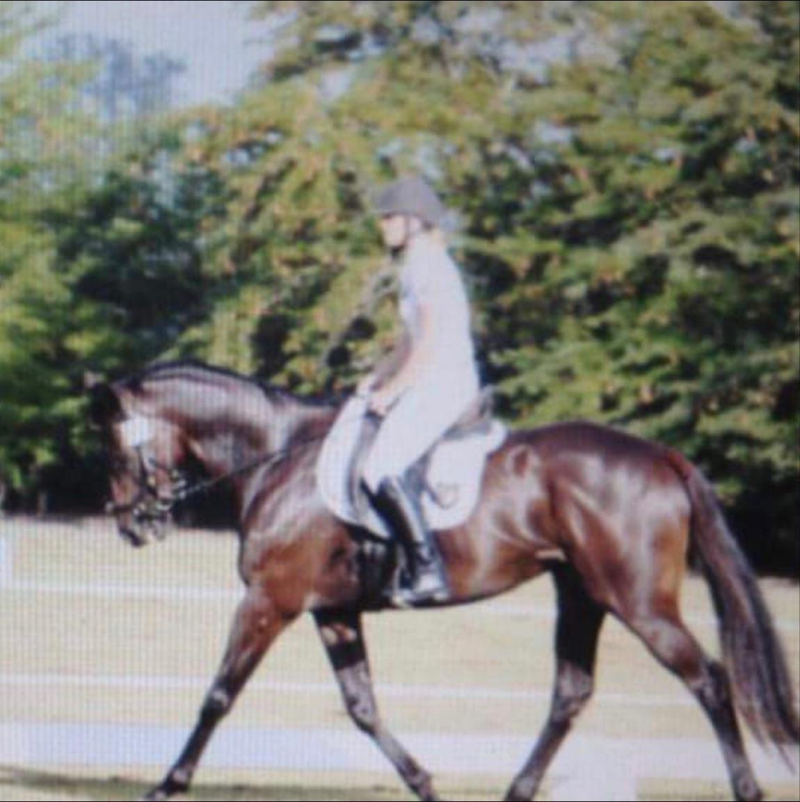 Flashy black gelding hack / dressage prospect